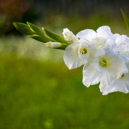 white gladiolus in the garden