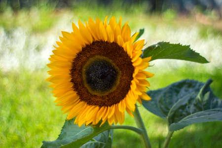 sunflower in the garden (Helianthus) - close up
