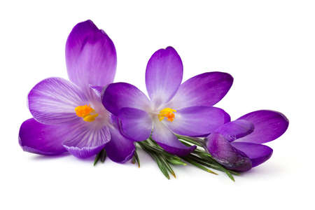 crocus - one of the first spring flowers on white background