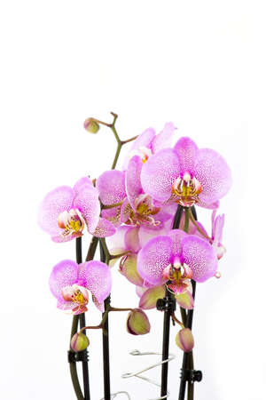 Beautiful pink orchid in a pot - phalaenopsis - white background