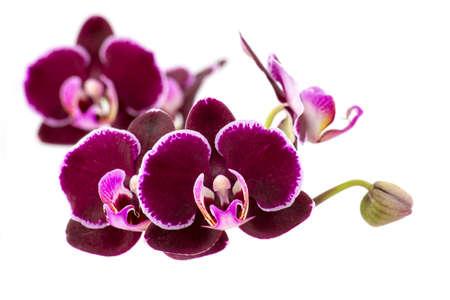 Beautiful pink orchid - phalaenopsis - white background