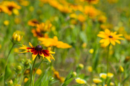Rudbeckia flowers in nature Standard-Bild