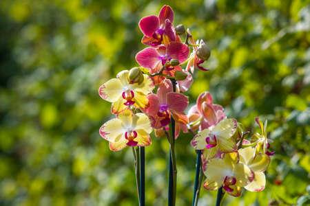 Beautiful orchid flowers - phalaenopsis