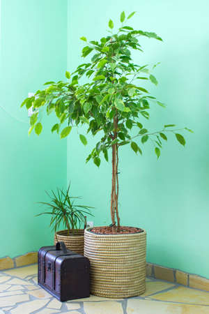 Benjamin ficus, dracaena and chest in living room at window with sunlight. Home design, interior and decoration. Standard-Bild