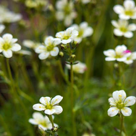 close up of white flowers in a garden Standard-Bild