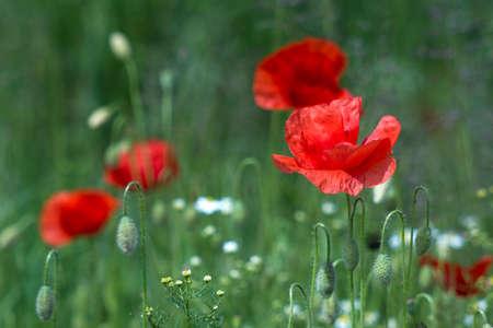 wild poppy flowers - poppies and chamomiles Standard-Bild