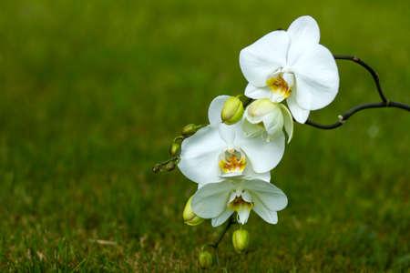 Beautiful white orchid - phalaenopsis