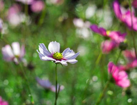 Cosmos flower (Cosmos bipinnatus) Standard-Bild