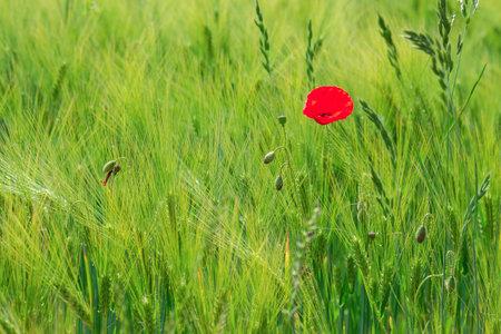 wild poppy flower in a barley field