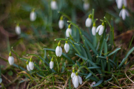 snowdrop - one of the first spring flowers - soft focus