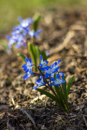 hyacinth flowers - one of the first spring flowers