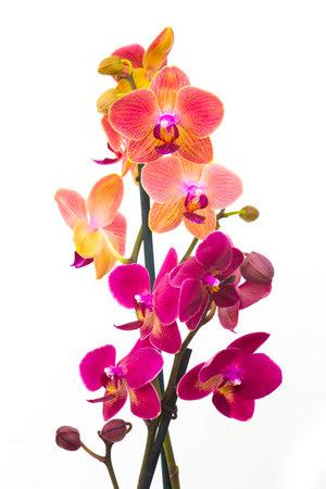 Beautiful pink and orange orchid - phalaenopsis