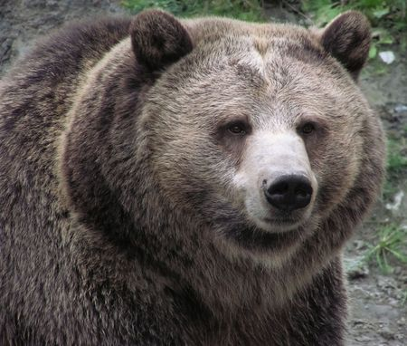 Sharp close-up of a female Grizzly bear on natural background