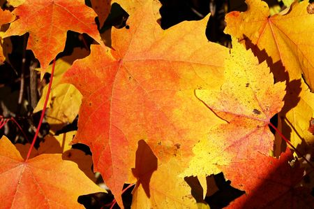 Close-up of bright orange and yellow maple leaves Stock Photo - 3266631