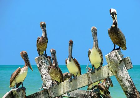 gulf of mexico: Group of Brown Pelicans perched on an old delapidated peer in the Gulf of Mexico looking at the camera