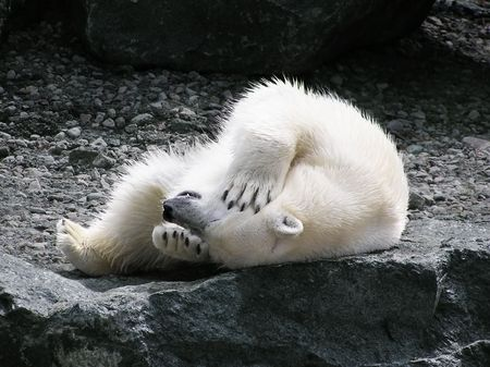 Polar bear rolling on its back holding its head with teeth showing photo