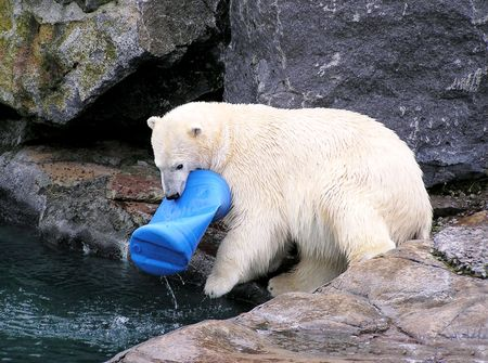 Polar bear playing in and out of the water with a plastic blue bucket photo