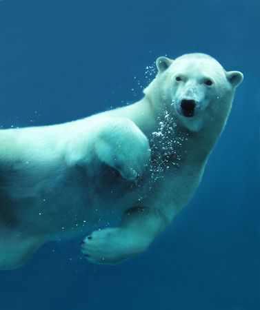 wet bear: Close-up of a swimming polar bear underwater looking at the camera.