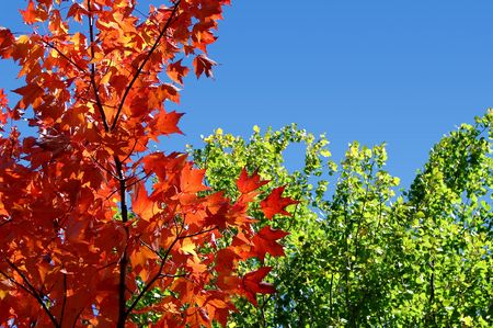 contrasted: Red maple tree leaves contrasted by green foliage and blue sky on bright sunny day in the fall