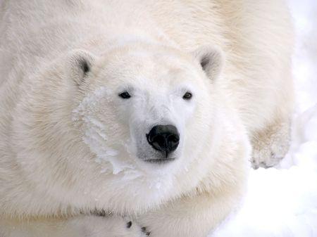 oso blanco: Descansando en primer plano de la nieve con pieles de detalle y nieve en cara un oso polar femenino.