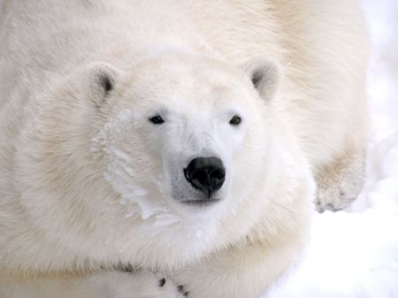Female polar bear resting on snow close-up with detail fur and snow on face.
