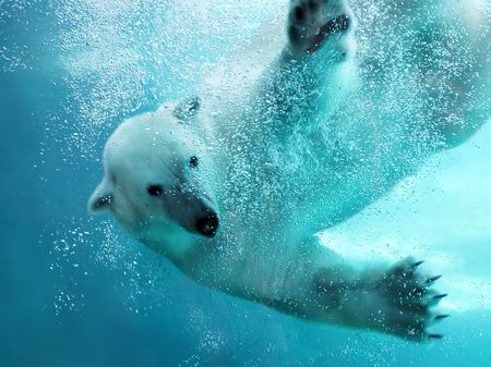 Polar bear attacking underwater with full paw blow details showing the extended claws, webbed fingers and lots of bubbles - bear looking at camera.   Stock Photo