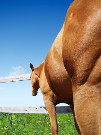 лучше: Beautiful palomino horse looking at greener grass and better pasture through fence.