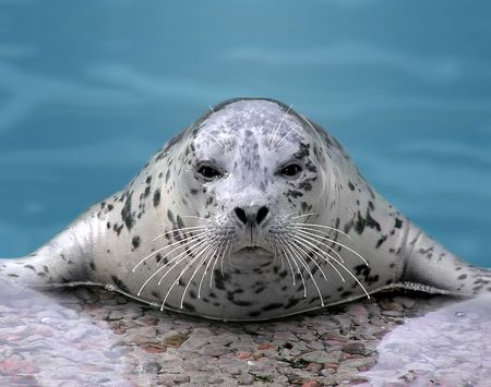 Close-up of a Harp seal looking at camera while resting on its flippers. Banque d'images