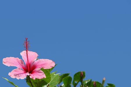 copy sapce: Pink flower border or background with copy sapce in bright blue sky Stock Photo