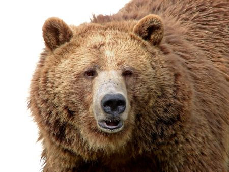 Detailed close-up portrait of a magnificent grizzly brown bear with texture of the fur showing.