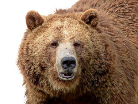 grizzly: Szczegółowe szczegółom Portret wspaniaÅ'y grizzly bear brown z teksturÄ… wykazujÄ…c futra. Zdjęcie Seryjne