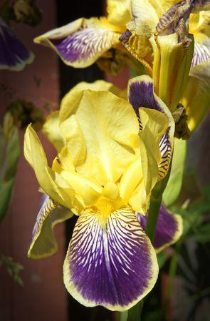 Superb irises flowers from my garden with amazing velvety texture details. Stok Fotoğraf