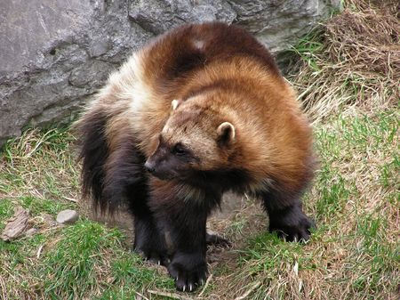 Close-up of a wolverine showing the full body with its thick coarse fur and its long, sharp claws.