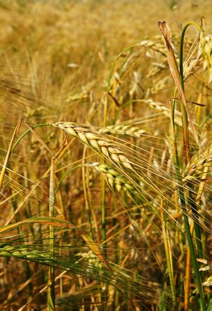 maybe: Vertical close-up of superb color ripe golden yellow barley crop, almost ready to be harvested and maybe become beer.