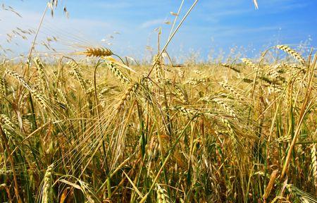 haver veld: Mooie gerst en haver veld met graan gewas, steeds meer in alle richtingen, chaos-concept.