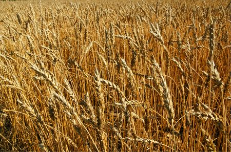 Close up of a beautiful golden wheat field cereal ready to be harvested. photo