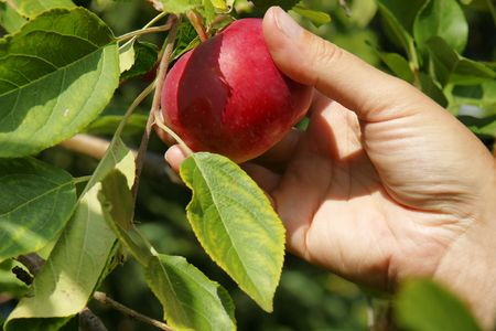 Detail on hand picking up a yummy red apple directly on the tree during late summer. photo