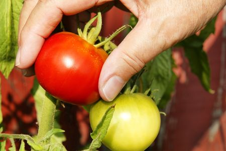 ripeness: Person picking up delicious bright red tomato on a beautiful sunny day. Ripeness of the red tomato contrasted by a green one just next to it.