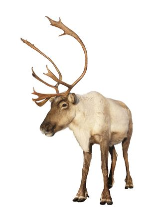 Complete caribou reindeer looking at camera isolated on white background ready to be put on any Christmas card or design. Great details.