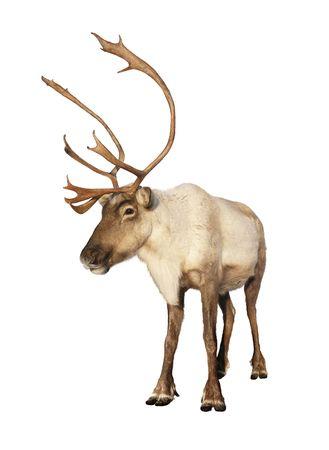 reno: Completar los renos de carib� mirando c�mara aislado sobre fondo blanco listo para ser puesto sobre cualquier tarjeta de Navidad o el dise�o. Grandes detalles.