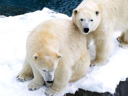 huddling: Two beautiful polar bears covered with snow huddling together, the one standing looking at camera.
