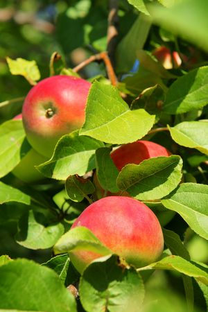 Beautiful vertical of three red ripe apples up in a tree of the orchard. Stock Photo - 7995274