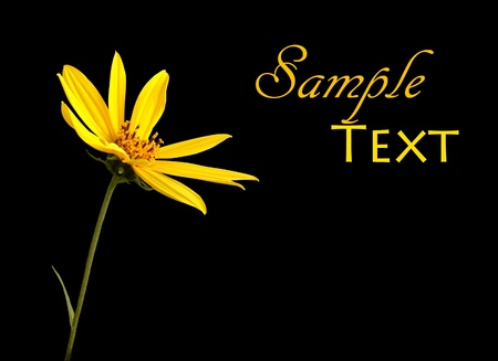 Single yellow flower on black background with copy space. Banque d'images
