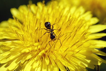 reciprocity: Ant feeding off the nectar at the bottom of a dandelion flower meanwhile being covered by pollen, reciprocity or cooperation concept.