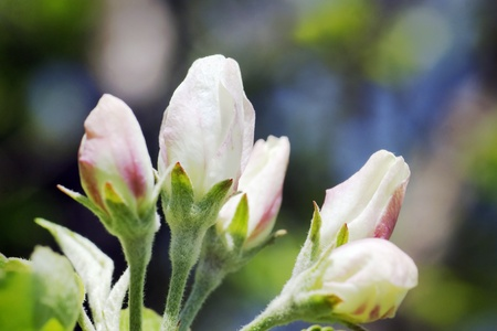 It's spring: apple tree white and pink flower buds just about to bloom in a beautiful daylight. Stock Photo - 9631877