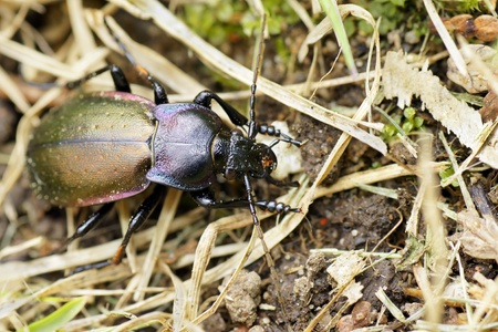 carabus: Looking at the beautiful, shinny purple-rimmed ground beetle (Carabus nemoralis) in the grass. Stock Photo