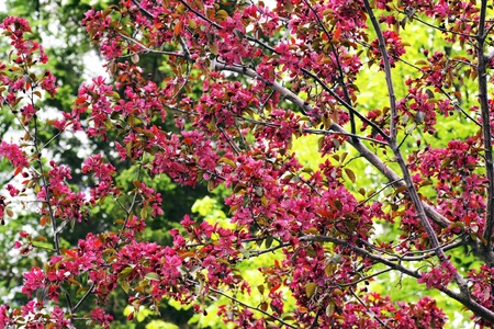 Beautiful Cherry Tree In Bloom With Its Dark Pink Flowers Against The Tender Green Leaves Of