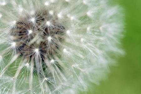 Macro of dandelion fluffy seeds over green background Stok Fotoğraf