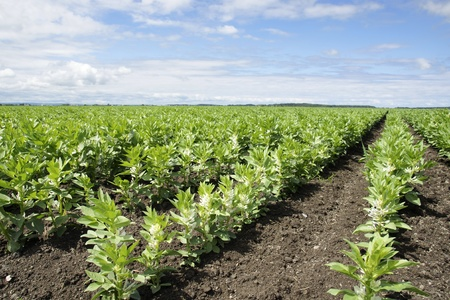 fava bean: Rows of beautiful green broad or fava bean in bloom, a cultivated field  making a great agriculture background.