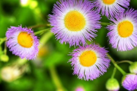 Beautiful floral background: hdr of common fleabane wildflower with contrasting purple, yellow and lush green. photo